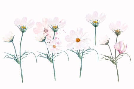 Big collection of vector white and pink cosmos flowers in watercolor style