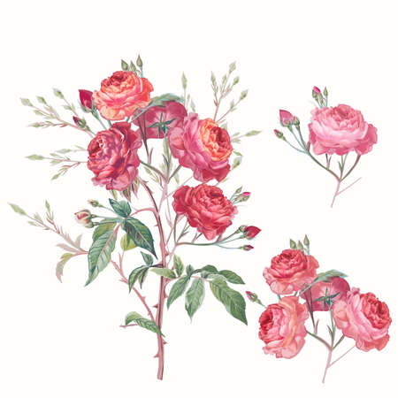 Collection of vector hand drawn roses in vintage antique botanical watercolor style