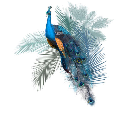 Illustration with vector realistic peacock bird on palm jungle background Çizim