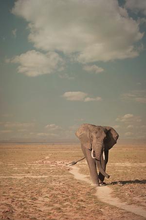 Elephant walking in Amboseli national park, Kenya, Africa