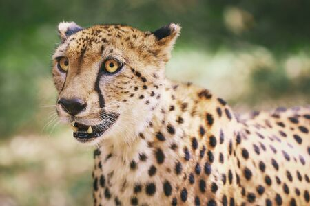 Potrait of Cheetah in Nairobi, Kenya, Africa