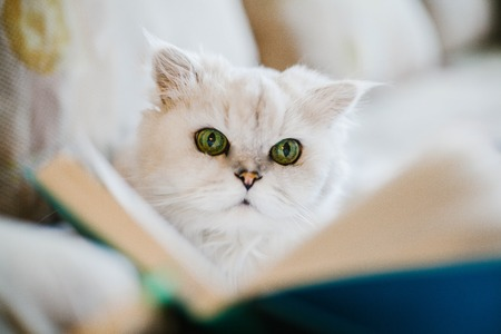 White cat reading a book. Animals sweet