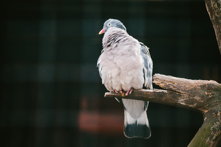 Large Dove sitting on a branch. Animals Stock Photo