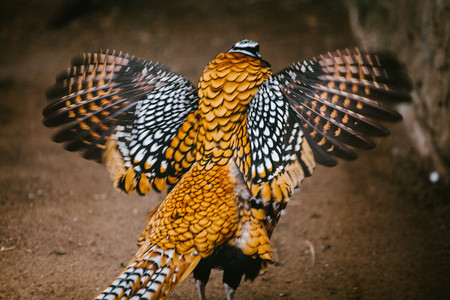 Royal pheasant. Animal and nature. Wild time Moscow