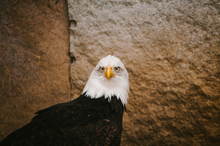 Bald Eagle. Animal and nature. Wild time Moscow