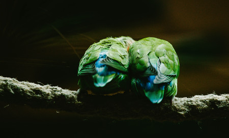 lovemaking: Two Parrot sitting on a branch. Animals