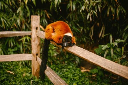 Red Ruffed lemur lies on a branch Stock Photo