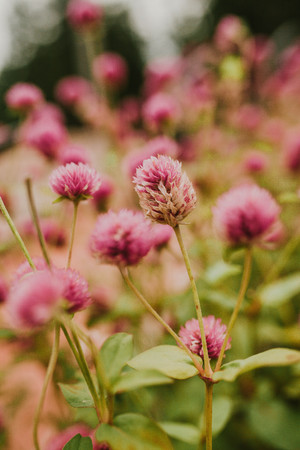 Pink creeping clover, nature