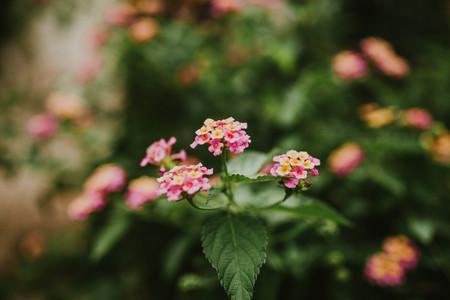 Lantana flower bushes closeup, nature