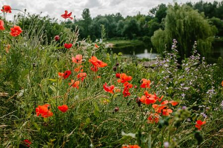 Bush with poppies in the garden, nature