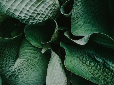 large green leaves close-up, nature