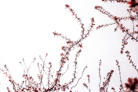 Inflorescence of burgundy branches with leaves