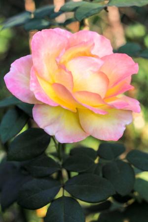ピンク イエロー ローズ