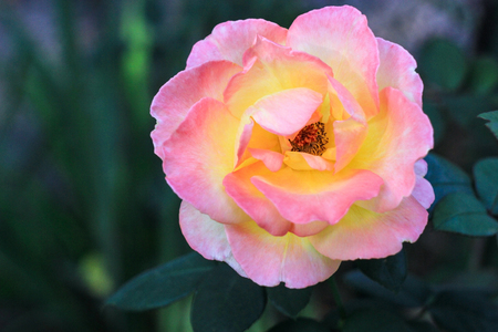 Flower pink-yellow luxuriant rose