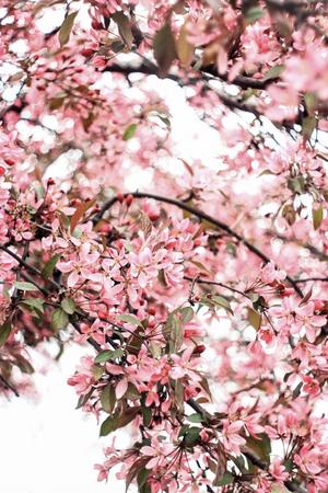 lush cherry blossom 写真素材