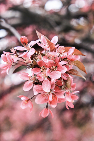 Flowering of the flowers of the pink sakura on a white background 写真素材