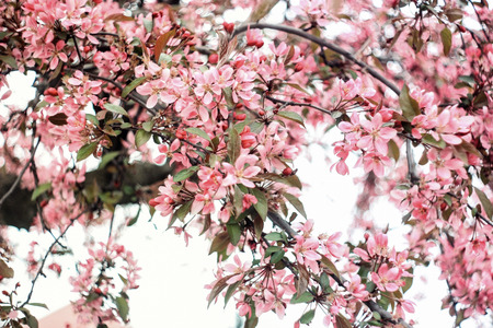 Small pink sakura flowers on a green background