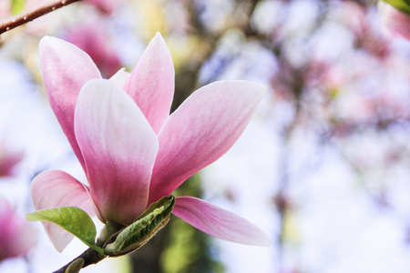One large flower of a pink magnolia on a blurred white background, Pink magnolia blossom, a beautiful large pink magnolia, magnolia flower growing on a tree, bud of a blooming pink magnolia, beautiful pink flower blooming in the garden