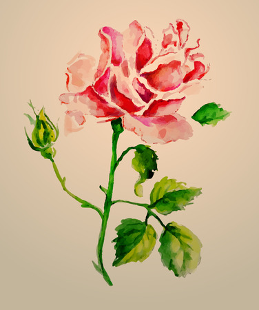 watercolour: Rose watercolour vector illustration on pink background