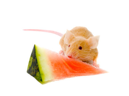 exterminate: Small a rat with a slice of a water-melon.