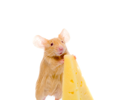 twitch: Rat with a slice of cheese. Isolation on white