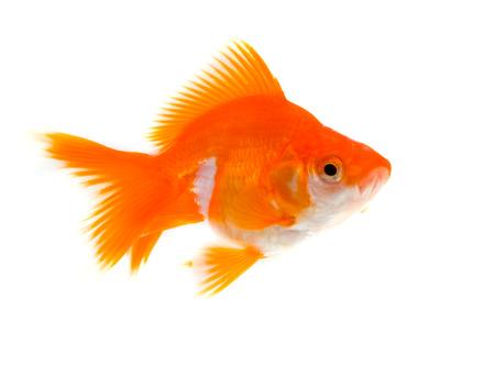 goldfish on a white background photo