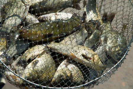 trout fishing: Fish in a fishing nets Stock Photo