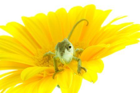 Chameleon. Isolation on white Stock Photo - 2756519