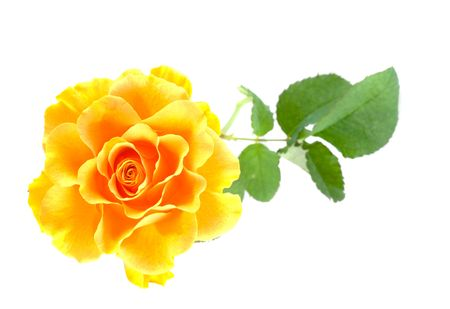 Beautiful yellow rose. Isolation on white