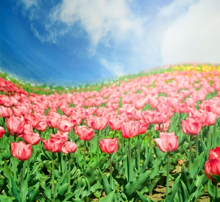 colorful tulips in summer time photo