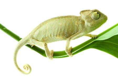 emotive: Chameleon on flower. Isolation on white