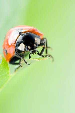 Ladybug sitting on a green grass photo