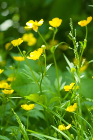 herbage: Field of yellow flower
