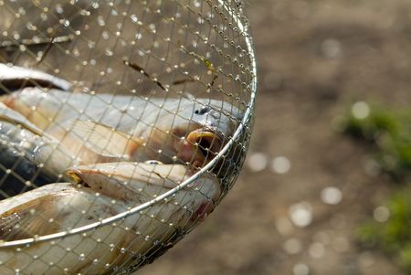 Fish in a fishing nets photo