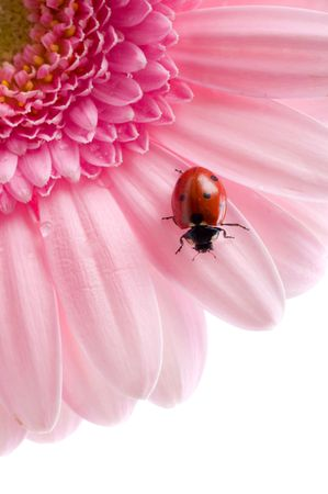 flower petal with ladybug under blue sky  Stock Photo - 3247050