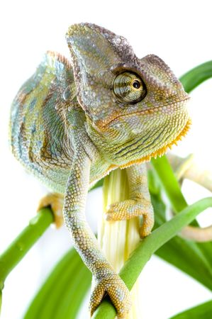 Chameleon on flower. Isolation on white Stock Photo - 3247117