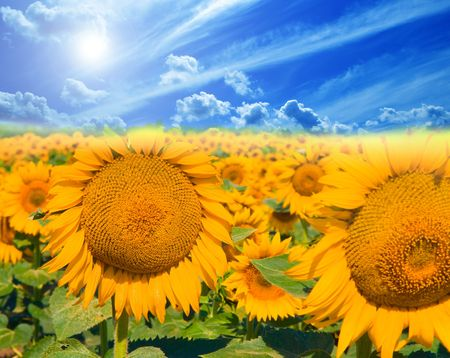 Field of sunflowers on a background of the blue sky. Stock Photo