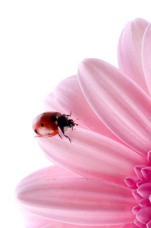 flower petal with ladybug  photo