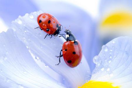 flower ladybug: flower petal with ladybug
