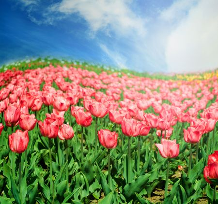 colorful tulips in summer time Stock Photo - 3808955