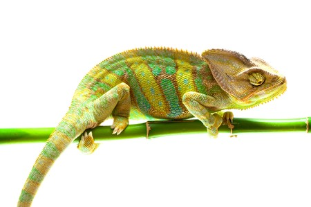 Chameleon on flower. green Stock Photo