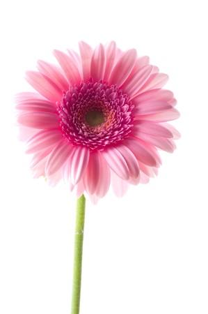 Pink gerber flower photo