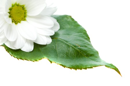 Camomile and leaves and drop photo