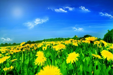Meadow with yellow dandelions. Stock Photo - 4247503
