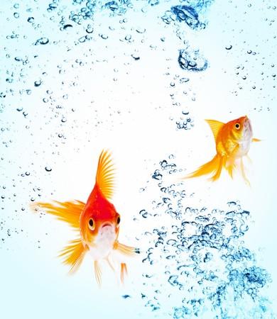 peces de acuario: Goldfish es saltar fuera del agua