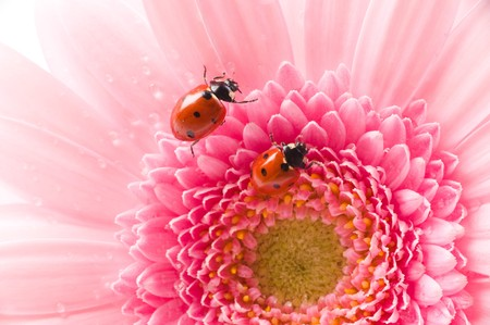 small red  Ladybird on  flower Stock Photo - 4293829