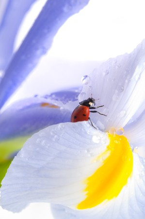 small red  Ladybird on  flower photo