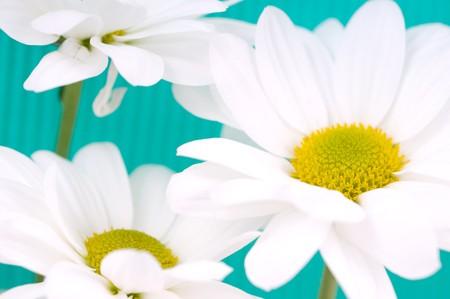 Beautiful fresh white camomiles macro photo