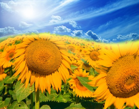 Field of sunflowers on sky Stock Photo - 4377498