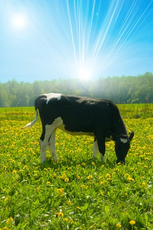 heffer: cow in a pasture  Stock Photo